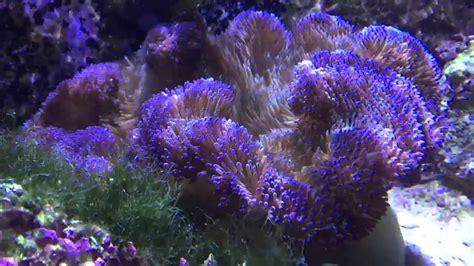 Multi Color Stichodactyla Gigantea Carpet Anemone Filmed
