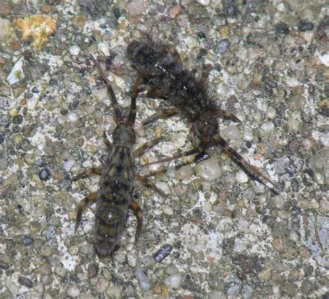here is what happens when two springtails meet thank you