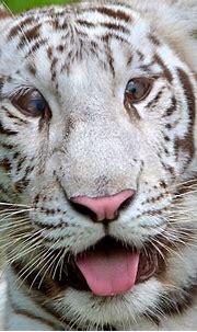 White Bengal Tiger Cub | Flickr - Photo Sharing!