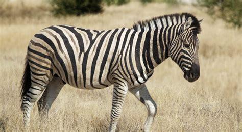 What Do Zebras Eat?