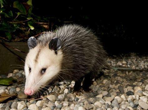 infestation  opossums kills  babies  venezuelan