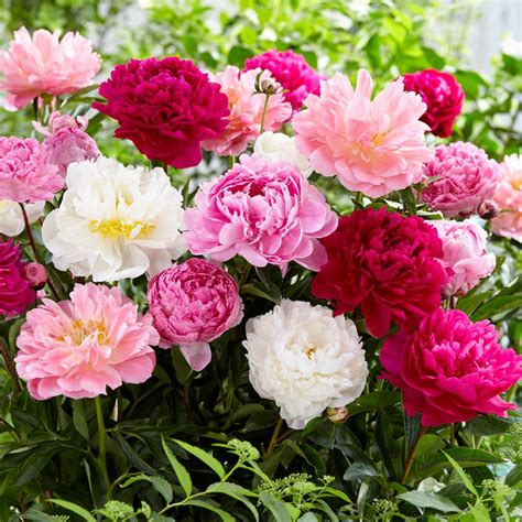 peonies peony flowers mix spring mixed bulbs planted