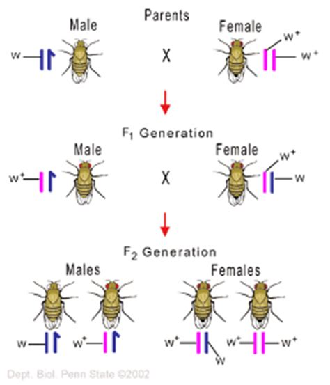 Modification Of Mendelian Inheritance by Chromosome Behavior And Chromosomes Biol110f2014