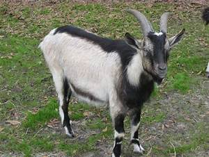 Various Types of Alpine Goat | Modern Farming Methods