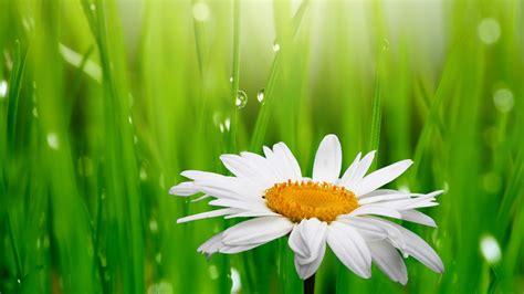 wallpaper daisy droplets green grass  flowers