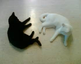 black cat white cat 1000 images about chat noir chat blanc black cat white