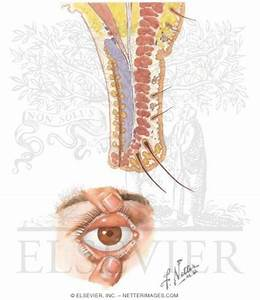 Eyelid Histology Gallery