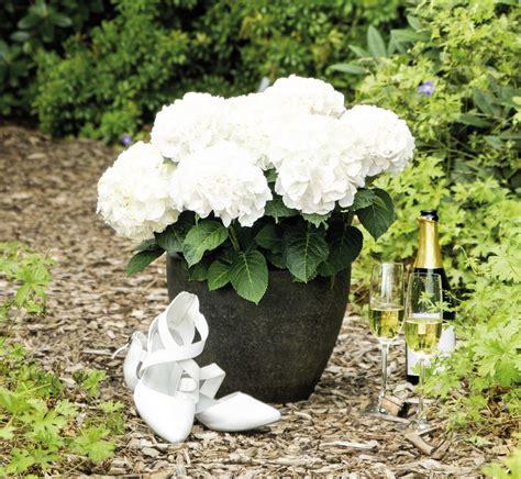 eichenblatt hortensie schneiden hortensie pflanzen jahreszeit hortensien zur ckschneiden