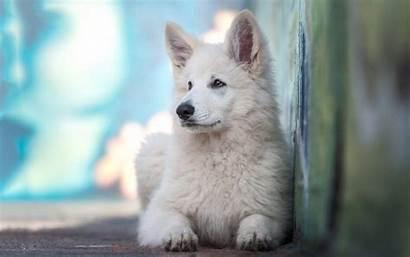 Dog Breeds Wallpapers Fluffy Shepherd Dogs