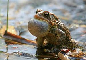 American Toad Croaking Photograph by Bruce J Robinson