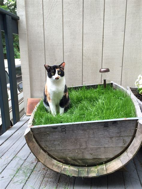 indoor cats  love grass fill  planter  grass