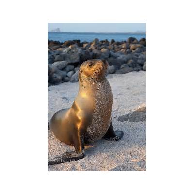 California Sea Lion Photo Stock Photograph of a