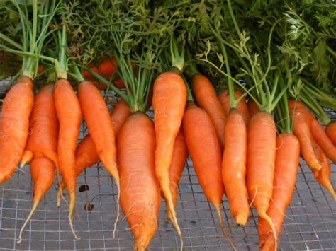 how to carrots from the garden how to grow carrots from seed garden how