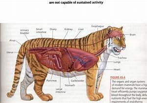 Tiger Anatomy