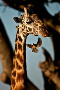 Giraffe and Birds
