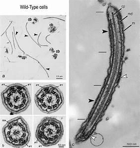 Tem Micrographs Of Flat