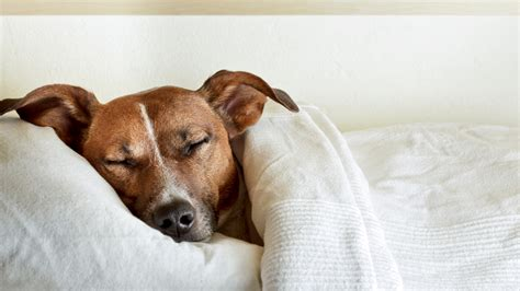 Want better sleep? Maybe let your dog in the bedroom after ...