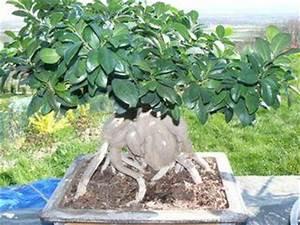 Comment Tailler Un Ficus : rempoter un ficus giseng d couvrir ~ Melissatoandfro.com Idées de Décoration