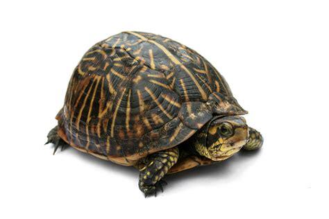 Turtle Images Box Turtle