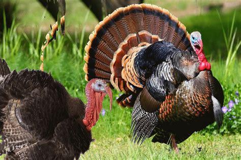 turkey bird sound effects youtube