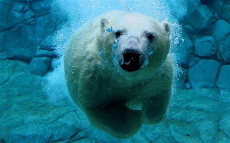 Funny Polar Bear 1280x800 Wallpapers,polar Bear 1280x800