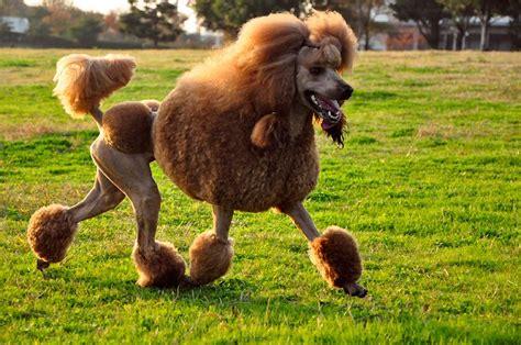Top 10 Besten Hunde Für Die Wohnung (hunde Für Familien)