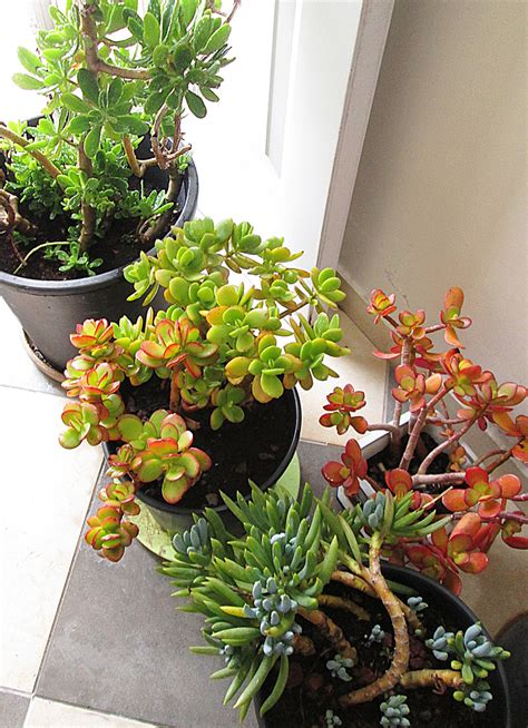 best succulents for indoors a forecast of snow or even frost move those precious succulents indoors creative jewish mom