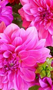 Plants Dahlia Flower Beautiful Pink Color 4k Wallpaper ...