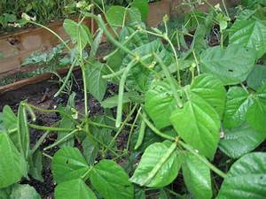 Organic Mung Bean  Green  Also Known As Chori  For