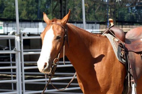 quarter american horses beginners