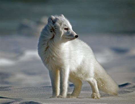Facts About Arctic Foxes