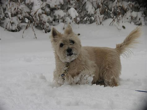 Cairn Terrier Shed Hair by Cairn Terrier Breed Information