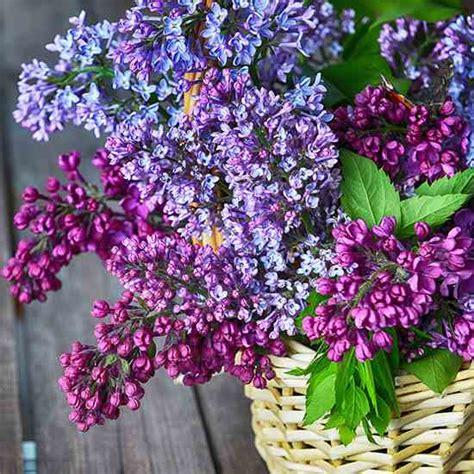 lilacs that bloom all summer heirloom expert lilacs not blooming up to par organic gardening heirloom gardener