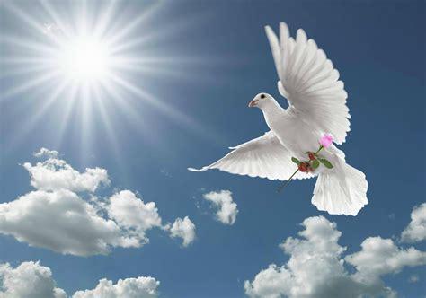 dove white white dove wallpaper hd wallpapers