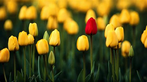 tulips background wallpapers  wallpaperplay