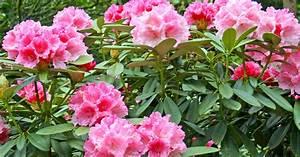 Rhododendron Blüht Nicht : rhododendron umpflanzen mein sch ner garten ~ Frokenaadalensverden.com Haus und Dekorationen