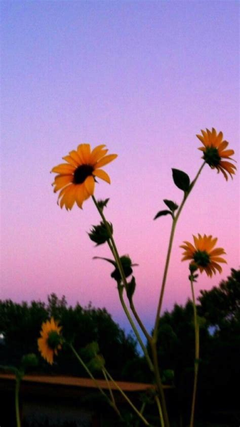 aesthetic tumblr wallpapers sunflowers hd wallpapers
