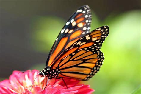 wonders   world butterfly hd  wallpapers