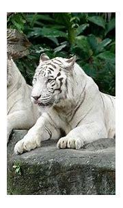 White Tiger - Singapore Zoo   Wildlife Reserves Singapore