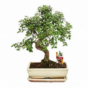 Bonsai Chinesische Ulme : bonsai chinesische ulme ulmus parviflora ca 8 jahre ~ Sanjose-hotels-ca.com Haus und Dekorationen