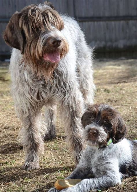 german wirehaired pointing griffon shedding 17 best images about s best friends on