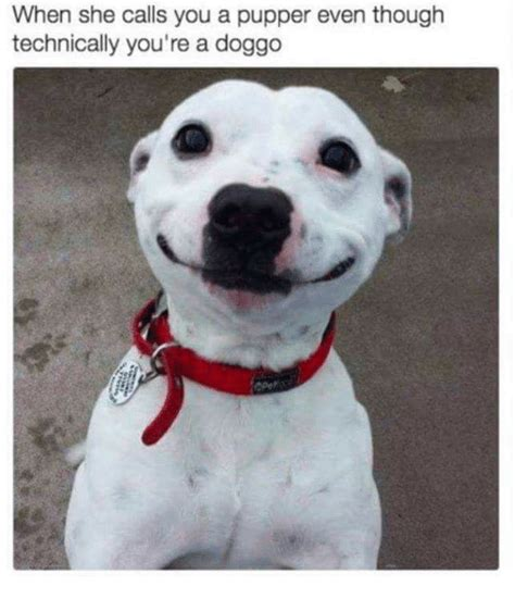 funny pupper memes    sizzle golden