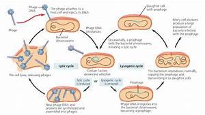 Mode Of Multiplication Of Bacteriophages  U2013 Biotech Khan