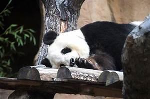 Verkaufsoffener Sonntag 07 05 17 : image libre panda g ant arbre faune animal ours mignon panda ~ Eleganceandgraceweddings.com Haus und Dekorationen