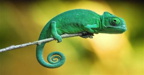 types of chameleons chameleons 10 facts you probably need to learn