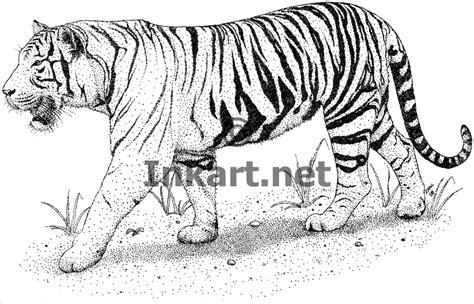 Coloring Harimau by Tiger Harimau Pencil And In Color Tiger Harimau