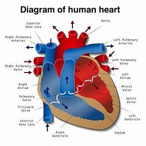 Explain Diagram Of Heart