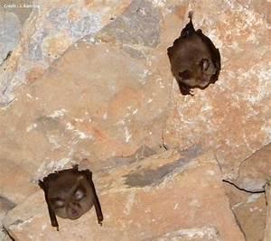 Crottes De Souris : accueillir les chauves souris nature midi pyr n es ~ Melissatoandfro.com Idées de Décoration