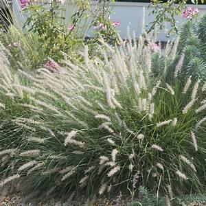 Plantes Vivaces Pour Massif : nice plante pour massif exterieur 25 pennisetum ~ Premium-room.com Idées de Décoration