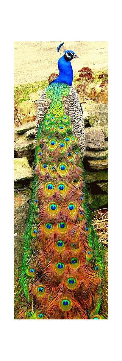 Peacock Birds Google Pretty Peacocks Animals Exotic